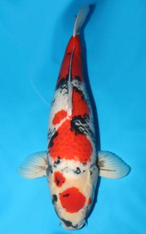 Maruten Kage Showa 74 cm 15000 Euro