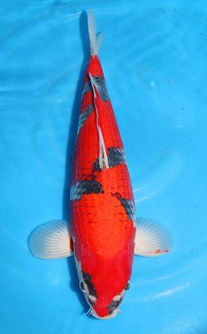 Goshiki Minuma nisai 45-50 cm 2750 Euro (2)