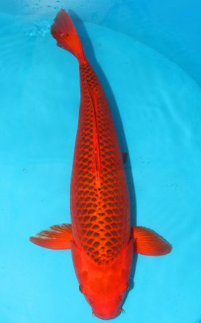 Aka Matsuba 72 cm 4500 Euro