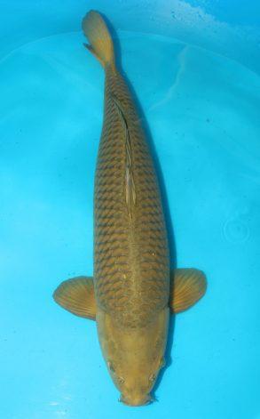 Chagoi 82 cm 6950 Euro