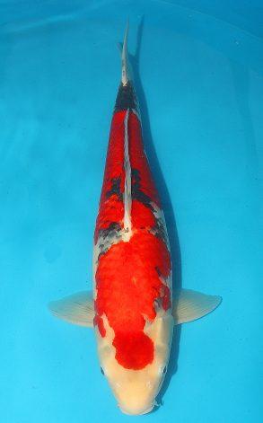 Goshiki show 55 cm 3750 Euro