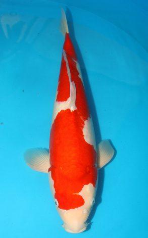 Kohaku Inazuma 61 cm 3250 Euro