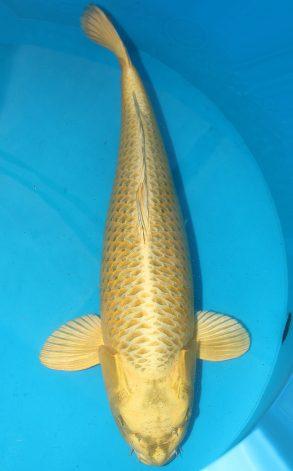Mukashi 78 cm 4750 Euro