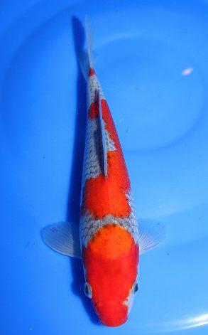 Goshiki 26 cm 275 Euro