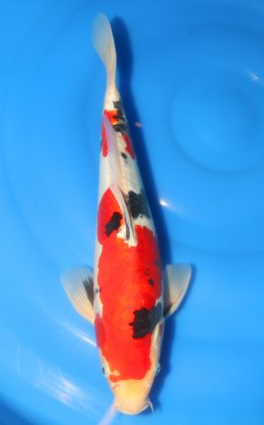 Doitsu Sanke 37 cm 375 Euro