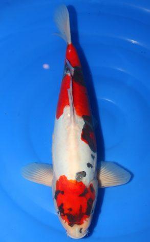 Doitsu Showa 48 cm 1350 Euro