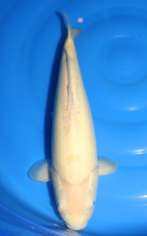 Doitsu Karashigoi m 42 cm 495 Euro