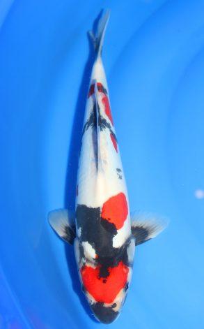 Doitsu Showa 38 cm 375 Euro