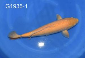 G1935-1, 21-025, 201011, Niigata solo, Marusei, YI, Doitsu Karashigoi, 1,, 3, mw, 56, fz, fz, KB, 1350 Euro