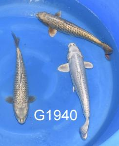 G1940, 21-023, 201011, Niigata solo, Marusei, YI, 3sai selected, 3,, 2, mw, 47-51, rz, rz, KB, 1350 Euro